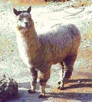 Перу. Альпака из семейства лам, гибрид гуанако и викуньи