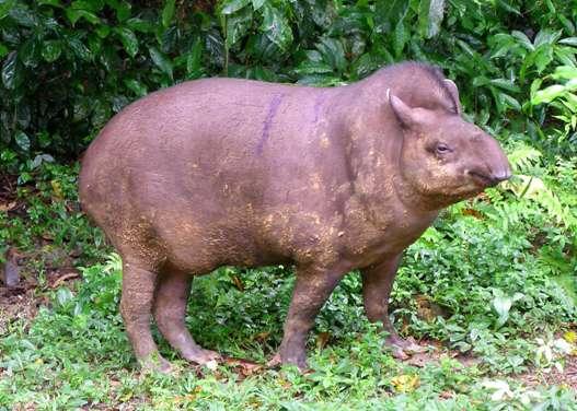 Тапиры животные амазонки животные